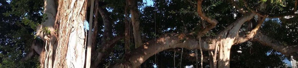 alc-oahu-agile-tree